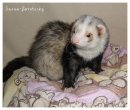 Photo de SaOna-Ferrets