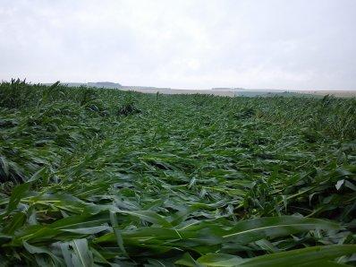 dégat dans les maïs après la grêle et l'orage en présence de vents