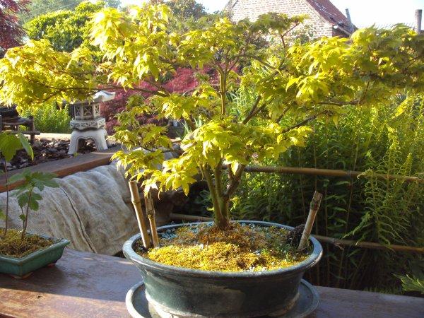 erable du japon mis en bonsai blog de philippetison. Black Bedroom Furniture Sets. Home Design Ideas