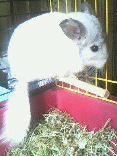 Eki, le chinchilla de ma soeur Katia :)