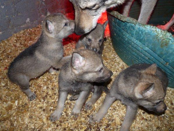 les petits chiots loups tcheque