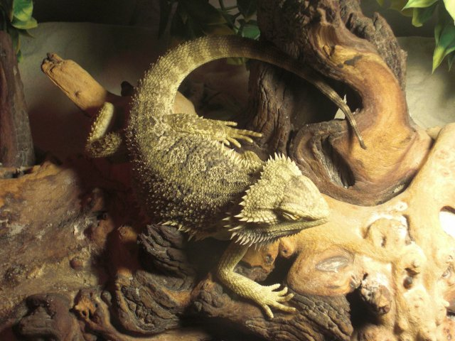 Pogona d'EvolDeath59