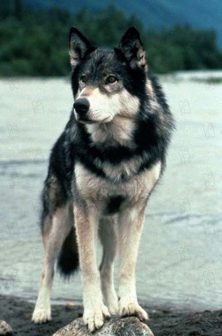 Pourquoi j'ai adopté un Husky ?!