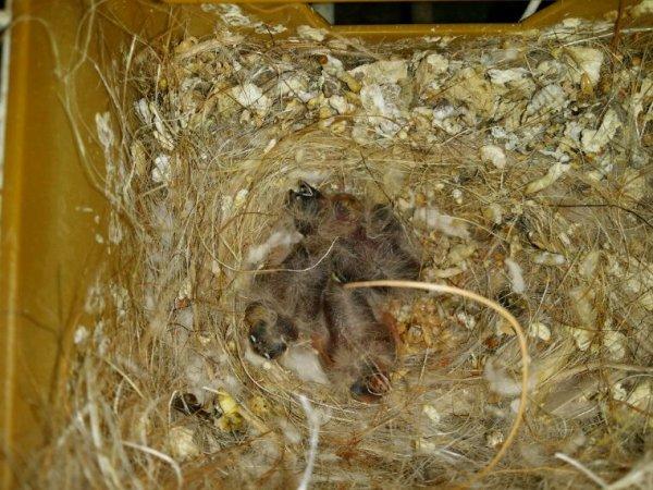 Quelques jeunes au nids.