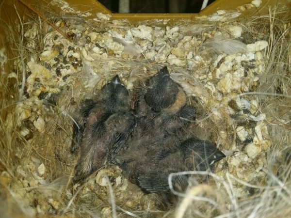 Quelques jeunes au nids