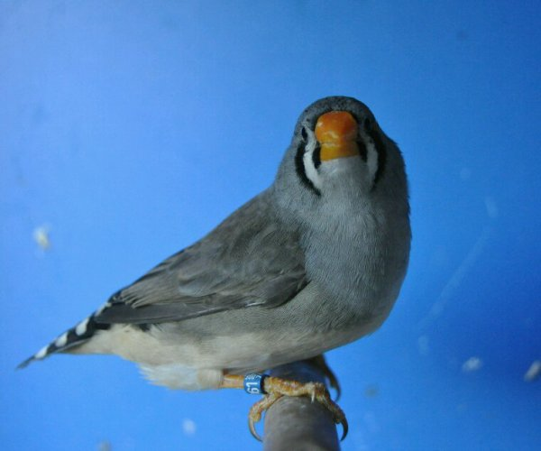 Autre femelle grise bec jaune