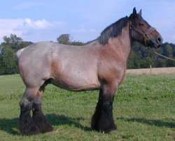 cheval de trait de l'auxois