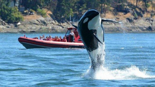 Le saut d'une orque