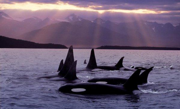 Un beau paysage avec des orques