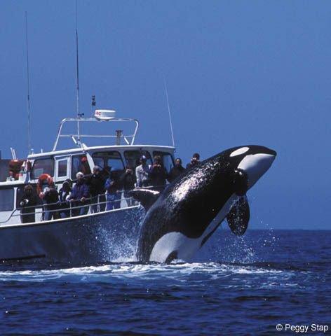 Une orque qui saute près d'un bateau