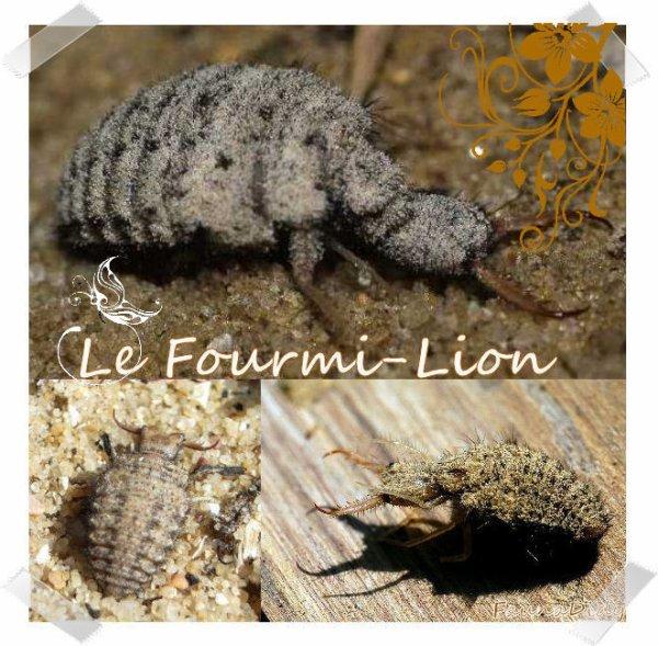 FICHE N°18 : Le Fourmi-Lion