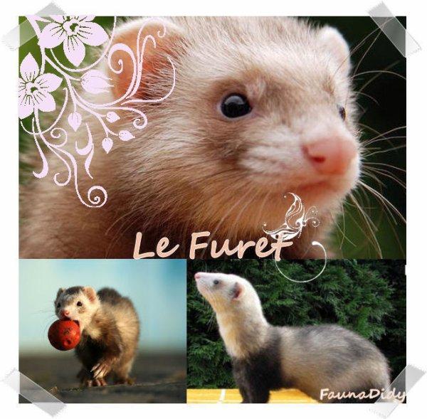 FICHE n°19 : Le Furet