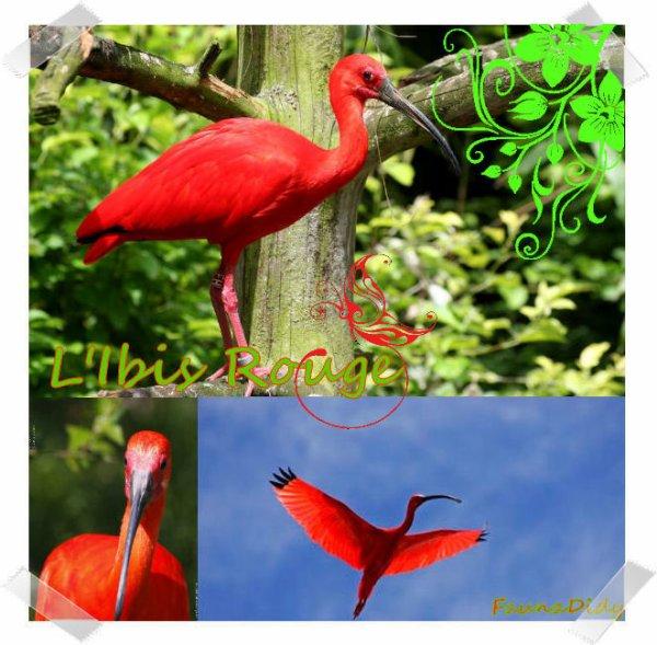 FICHE n°25 : L'ibis rouge