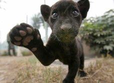 FICHE n°28 : Le Jaguar
