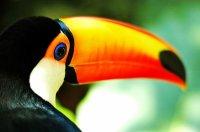 FICHE N°  : Le Toucan