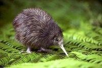 FICHE N°  : Le Kiwi