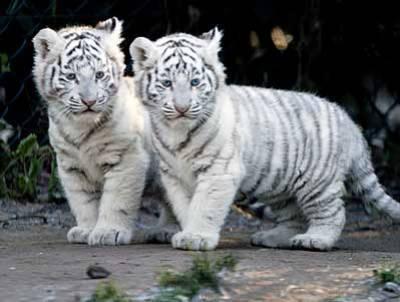 Puma Blanc