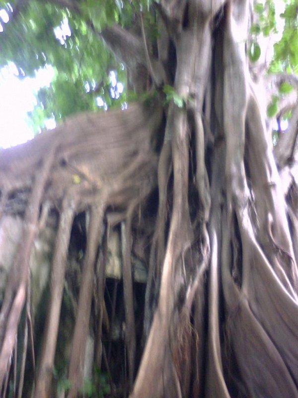 Cette arbre s'apel le figuié maudit qui se situe a la marche des esclaves a petit canal