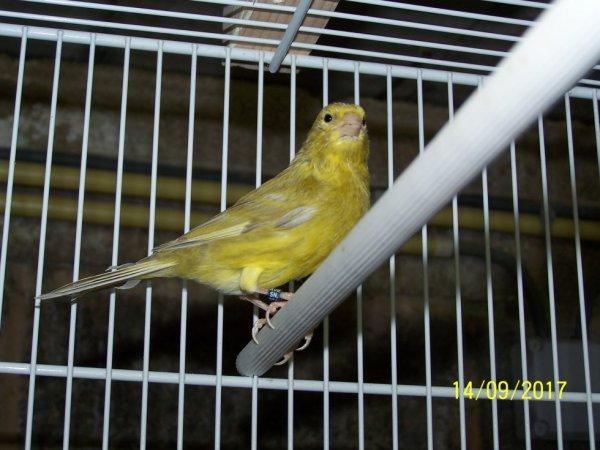 agate jaspe jaune