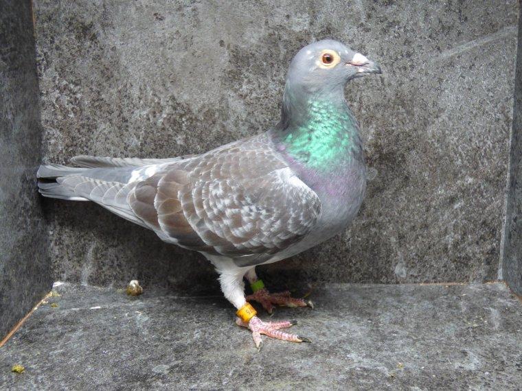 femelle brulee pour le fond et g/fond soeur de nombreux extra pigeons origine jan polder/ theelen