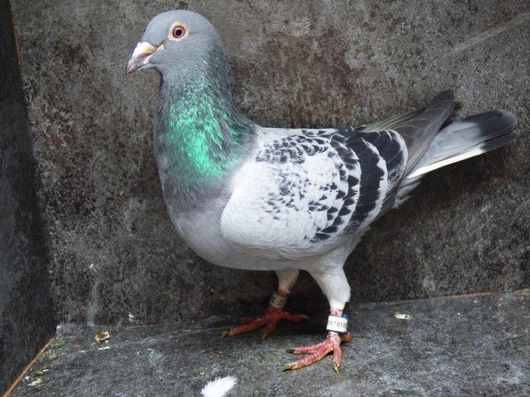 male ecaille janssen /van de merwe/ peters accouple a la gruson burniat ci dessous qui me procure beaucoup de bons pigeons dont des as chez d'autres amateurs
