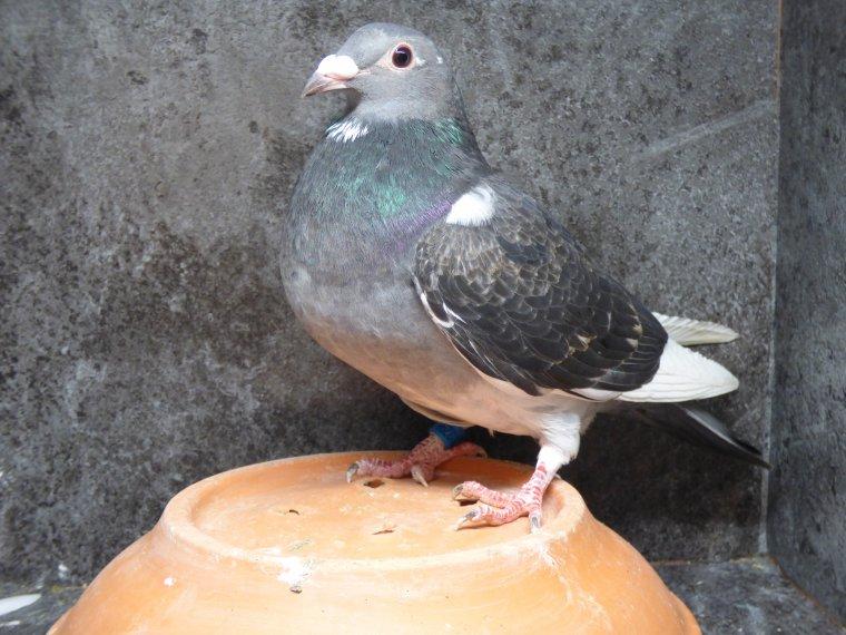 jeune femelle tres fin de saison origine dik barbry cadeau de mon ami breeding briscard loft elle est consanguine sur les dedeyne