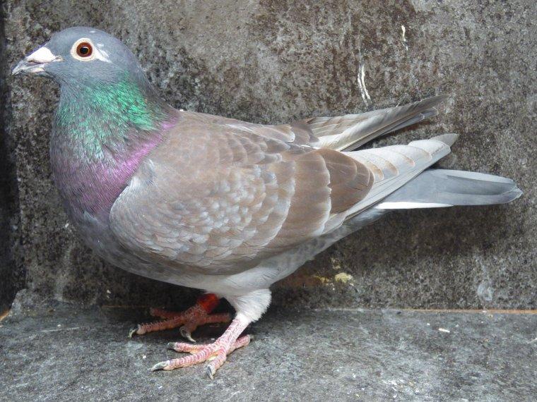 pigeon pour mon ami manu (ontario 12 ) comme je sais qu'il a pas assez de pigeons lol