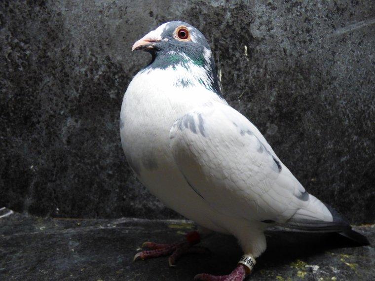 male macot janssen ben gerrinckx stevenick prise de vue cote gauche du pigeon pour gegevitro