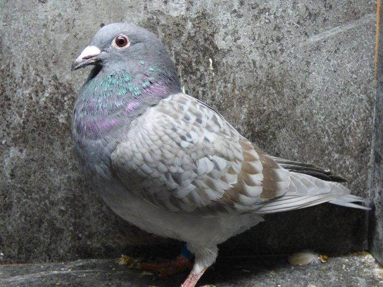 en plus de l'opale jerome (gegevitro ) m'a fait cadeau de ces 2 pigeons de couleurs qui seront magnifiques quand ils auront fait la mue merci jerome ta genorosite
