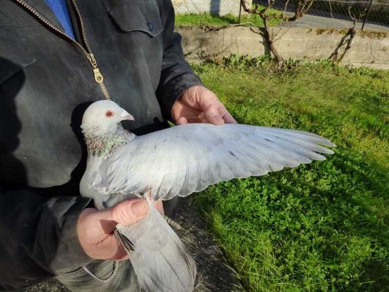 bonjour a tous les amis un blogueur m'a demande de prendre l'aile du pigeon ala lumiere du jour ce que je viens de faire a lui de definir la couleur merci