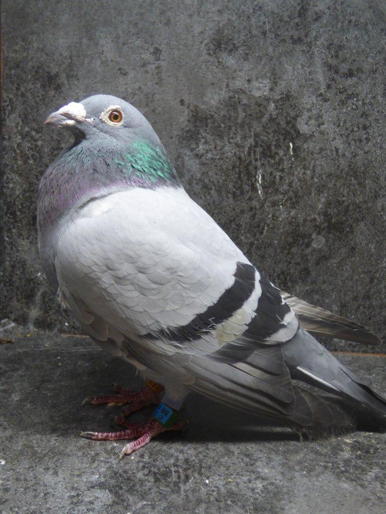 pigeon de pascal moreira 6e region aile cassee recupere chez un particulier lors du pau international 2018 son meilleur sur les internationaux ilm'en fait cadeau merci a lui