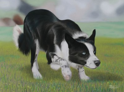 Border Collie à l'arrêt
