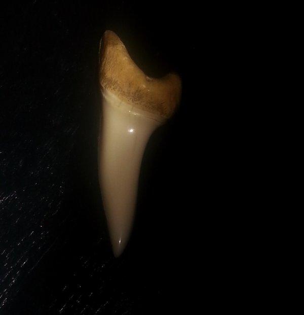 Félicia a retrouvé la dent de requin de Gigeou !
