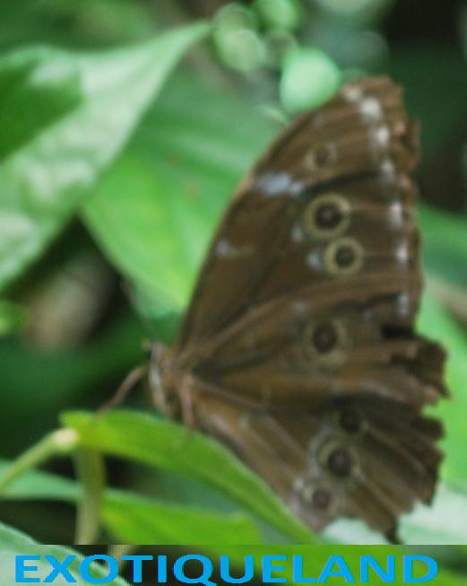 morpho mâle