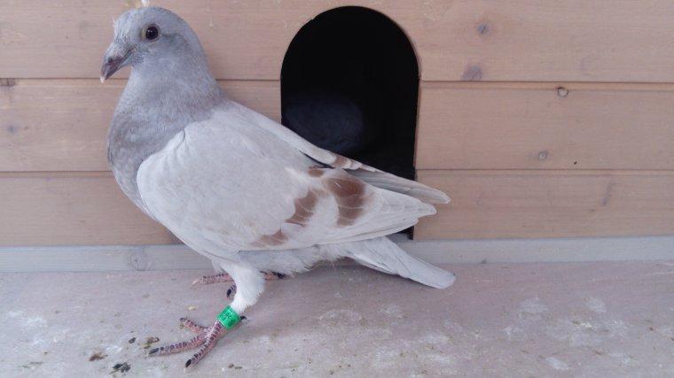 Mes pigeonneaux