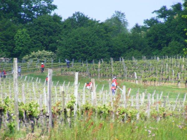 Des fleurs au milieu des vignes..................