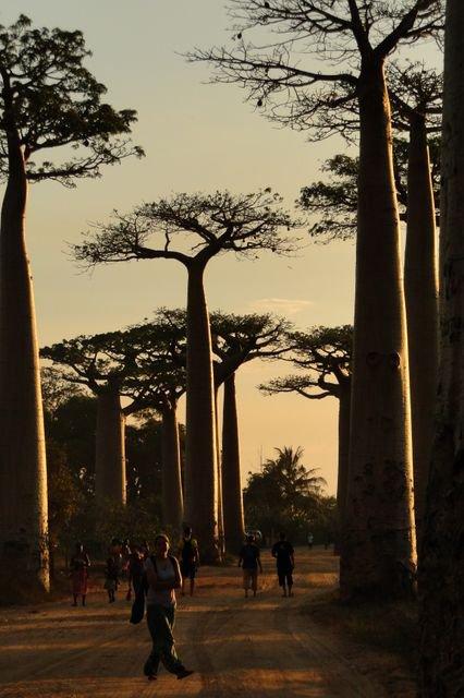 Avenues of baobabs