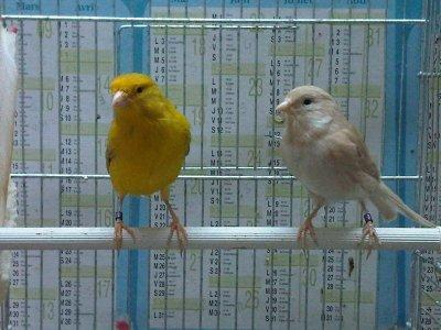 Mon couple de canaris Brun
