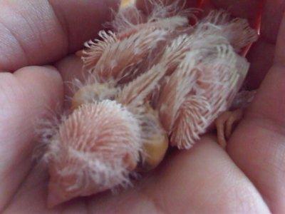 Nouvelles des bébés Mandarins blancs
