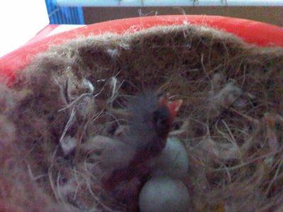 Petit bébé Canaris gris