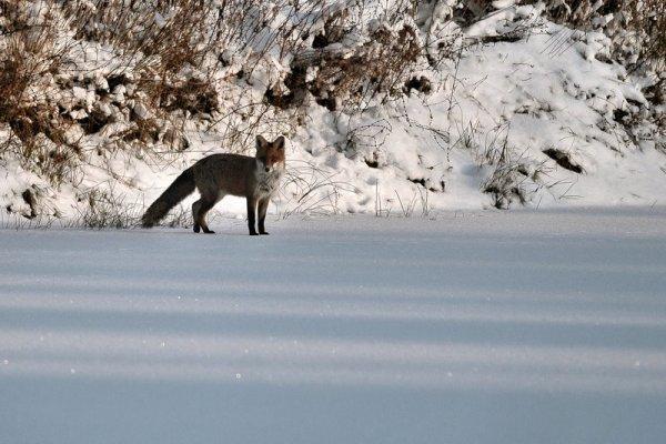 Renard sur un étang gelé