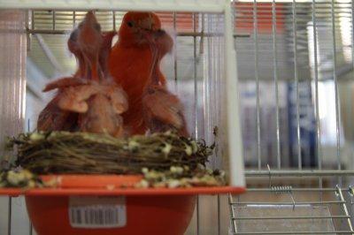 Nourrissage des jeunes Canary de soutien.