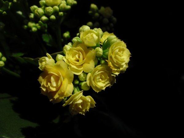 Kalanchoe jaune