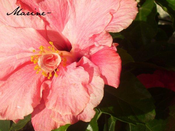 Photo: Fleur rose, aucune retouche.