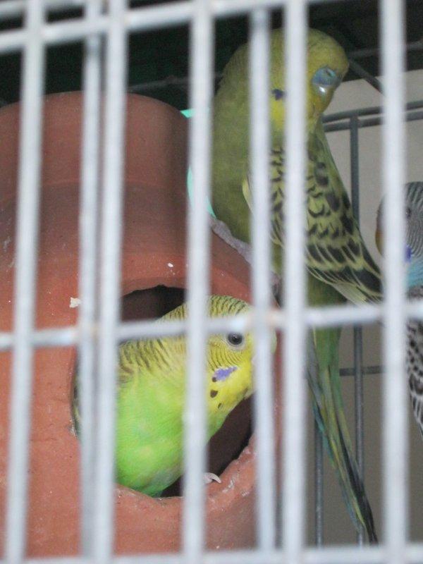 Enfin la femelle verte cinnamon prépare son nid