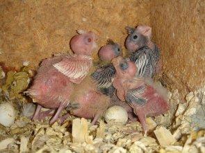 Evolution des bébés calopsittes