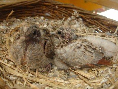Bébés colombes diamant