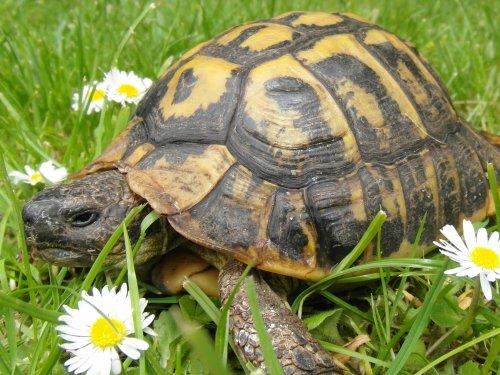 Totore la tortue terrestre qui a une trentaine d'année (on me l'a donner)