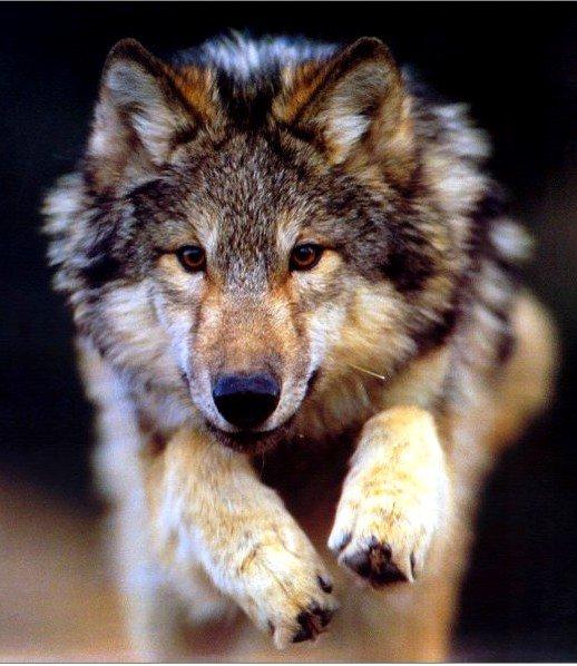 Il etait une fois: le loup !