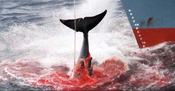 Sauvez les baleines !